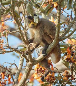 8227 Tufted Capuchin (Cebus apella), Pantanal, Brazil
