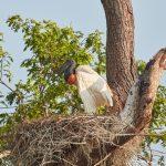 8228 Jabiru Nest (Jabiru mycteria), Pantanal, Brazil