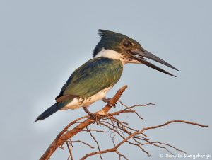 8229 Male Amazon Kingfisher (Chloroceryle amazona), Pantanal, Brazil