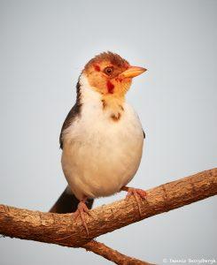 8229 Juvenile Yellow-billed Cardinal (Paroana capitata), Pantanal, Brazil