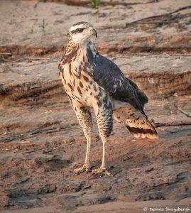 8232 Savanna Hawk (Buteogallus meridionalis), Pantanal, Brazil