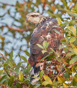 8231 Savanna Hawk (Buteogallus meridionalis), Pantanal, Brazil