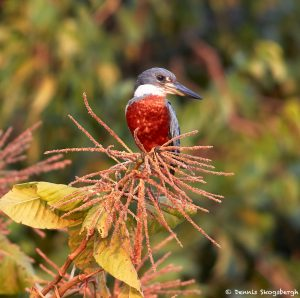 8233 Ringed Kingfisher (Megaceryle torquata), Pantanal, Brazil