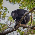 8234 Howler Monkey, Pixaim River, Pantanal, Brazil