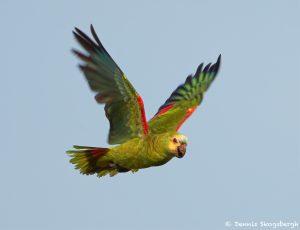 8239 Yellow-faced Parrot, Pantanal, Brazil