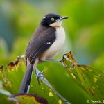 8240 Black-capped Donacobius (Donacobius atricapilla, Pantanal, Brazil
