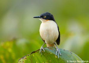 8241 Black-capped Donacobius (Donacobius atricapilla, Pantanal, Brazil
