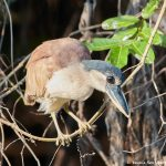 8243 Boat-billed Heron (Cochlearius cochlearius), Pantanal, Brazil
