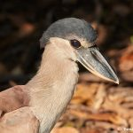 8244 Boat-billed Heron (Cochlearius cochlearius), Pantanal, Brazil