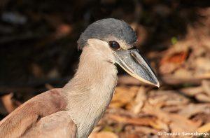 8244 Boat-billed Heron (Cochlearius cochlearius), Pantanal, Brazil