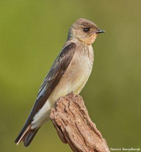 8246 Rough-winged Swallow, Pantanal, Brazil