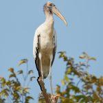 8248 Wood Stork (Mycteria americana), Pantanal, Brazil