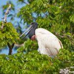 8249 Jabiru in Nest (Jabiru mycteria), Pantanal, Brazil