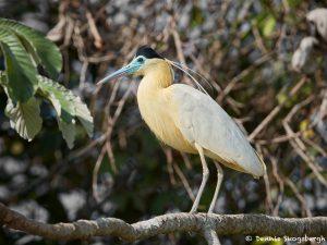 8251 Capped Heron (Pilherodius pileatus), Pantanal, Brazil