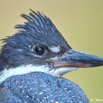 8257 Ringed Kingfisher (Megaceryle torquata), Pantanal, Brazil