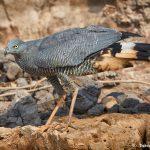 8258 Crane Hawk (Geranospiza caerulescens), Pantanal, Brazil