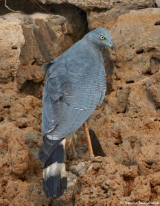 8259 Crane Hawk (Geranospiza caerulescens), Pantanal, Brazil