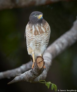 8262 Roadside Hawk (Buteo magnirostris), Pantanal, Brazil