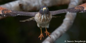 8263 Roadside Hawk (Buteo magnirostris), Pantanal, Brazil