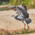 8264 Southern Screamer (Chauna torquata), Pantanal, Brazil