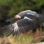 8265 Southern Screamer (Chauna torquata), Pantanal, Brazil