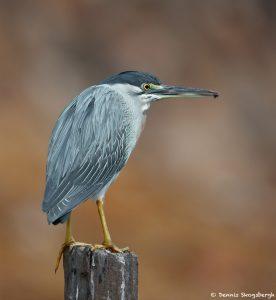 8319 Striated Heron (Butorides striata), Pantanal, Brazil