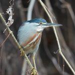 8320 Striated Heron (Butorides striata), Pantanal, Brazil