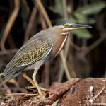 8323 ed Heron (Butorides striata), Pantanal, Brazil