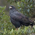 8325 Great Black Hawk (buteogallus urubitinga), Pantanal, Brazil