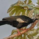 8326 Common Piping Guan (Pipile pipile), Pantanal, Brazil