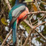 8327 Blue-crowned Trogon (Trogon curucui), Pantanal, Brazil