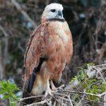 8328 Black-collard Hawk (Busarellus nignicollis), Pantanal, Brazil