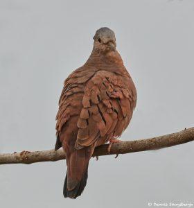 8329 Ruddy Ground Dove (Columbina talpacoti), Pantanal, Brazil