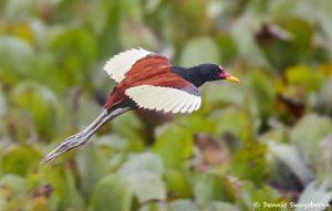 8331 Wattled Jacana (Jacana jacana), Pantanal, Brazil