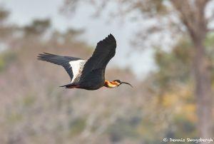 8334 Buff-necked Ibis (Theristicus caudatus), Pantanal, Brazil