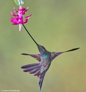 9009 Sword-billed Hummingbird (Ensifera ensifera), Guango Lodge, Ecuador