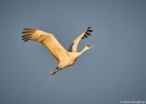 8434 Sandhill Crane (Grus canadensis), Bosque del Apache, NM