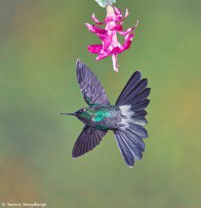 9088 Tourmaline Sunangel (Heliangelus exortis), Tandayapa Bird Lodge, Ecuador