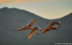 8412 Sunset, Sandhill Cranes (Grus canadensis), Bosque del Apache, NM