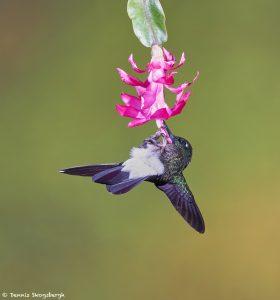 9089 Tourmaline Sunangel (Heliangelus exortis), Tandayapa Bird Lodge, Ecuador