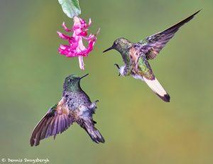 9091 Buff-tailed Coronet (Boissonneauna flacescens), Tandayapa Bird Lodge, Ecuador