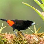 8441 Passerini's/Cherie's Tanager (Ramphocelus passerinii), Laguna del Lagarto Lodge, Costa Rica
