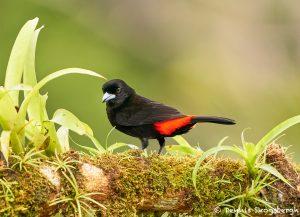 8442 Passerini's/Cherie's Tanager (Ramphocelus passerinii), Laguna del Lagarto Lodge, Costa Rica