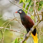 8445 Montezuma Oropendola (Psarocolius montezuma), Laguna del Lagarto Lodge, Costa Rica