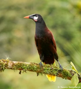 8446 MontezumOropendola (Psarocolius montezuma), Laguna del Lagarto Lodge, Costa Rica