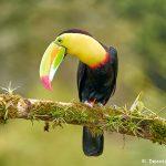 8449 Keel-billed Toucan (Ramphastois sulfuratus), Laguna del Lagarto Lodge, Costa Rica