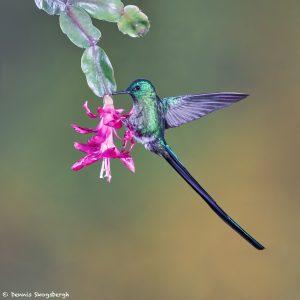 9095 Violet-tailed Sylph (Aglaiocercus coelestis), Tandayapa Bird Lodge, Ecuador