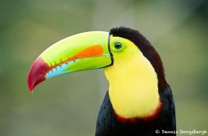 8450 Keel-billed Toucan (Ramphastois sulfuratus), Laguna del Lagarto Lodge, Costa Rica
