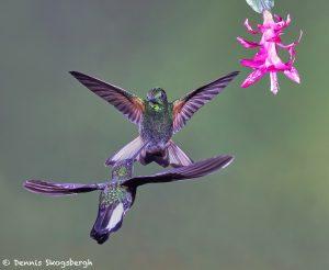 9097 Buff-tailed Coronet and Collard Inca, Ecuador