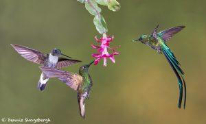 9099 Buff-tailed Coronet, Collard Inca and Violet-tailed SylphTandyapa Bird Lodge, Ecuador